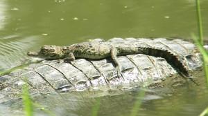 Guatemala krokodil met baby