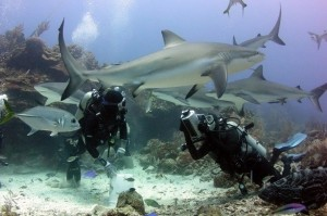 roatan-shark-dive