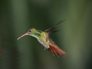 ecu2-002rufoustailed hummingbird2