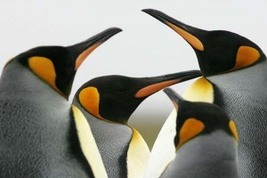 F125_LJ4H2430_kingpenguins